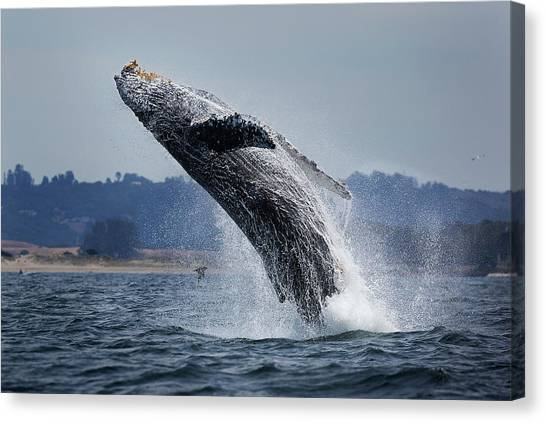 Water Ballet Canvas Print by Chase Dekker Wild-life Images