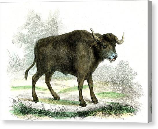 Water Buffalo Canvas Print by Collection Abecasis