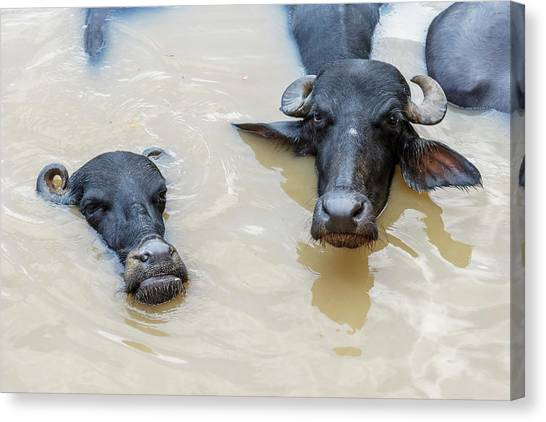 Ganges Canvas Print - Water Buffalos In Ganges River by Ali Kabas
