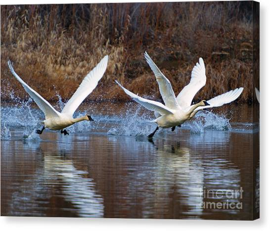Trumpeters Canvas Print - Water Dance by Mike  Dawson