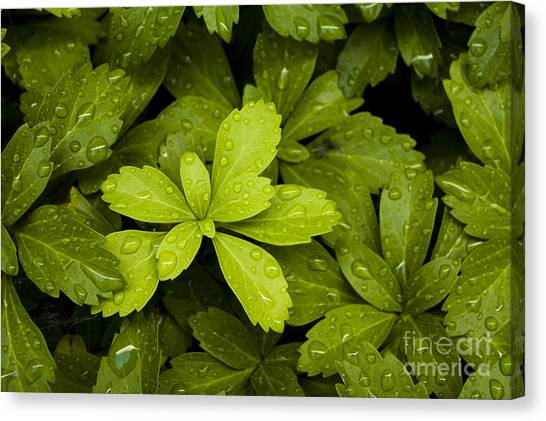 Water Drops New Growth Canvas Print
