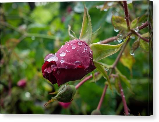 Rain Drops On Rose Canvas Print