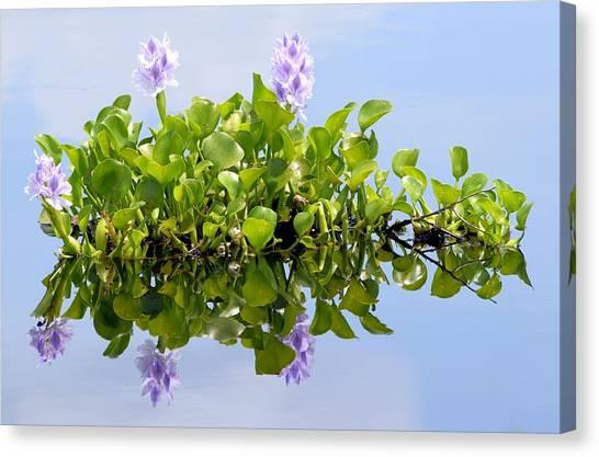 Water Hyacinth 1 Canvas Print by Sheri McLeroy