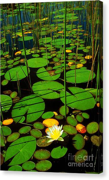 Okavango Swamp Canvas Print - Water Lillies by Gregory G. Dimijian