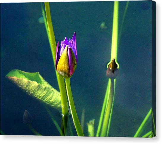 Water Lily 005 Canvas Print