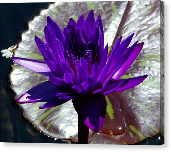 Water Lily 008 Canvas Print