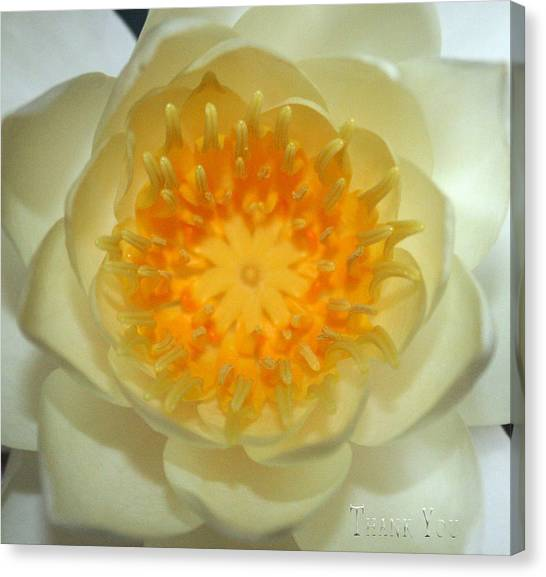 Lilies Canvas Print - Water Lily 3  And A Reminder To Utter The Words Thank You.  by Raenell Ochampaugh