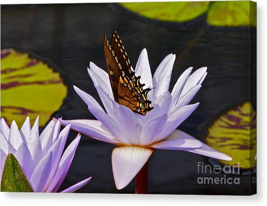 Water Lily And Swallowtail Butterfly Canvas Print