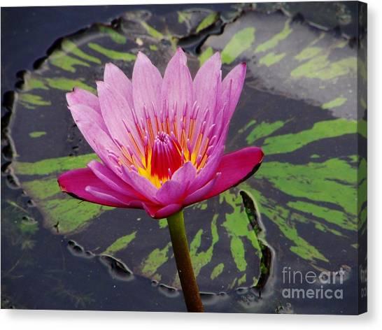 Water Lily Canvas Print by Cynthia Merino