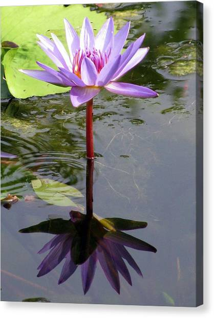 Water Lily - Shaded Canvas Print
