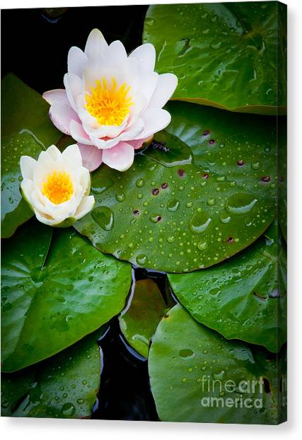 British Columbia Canvas Print - Water Lily Study by Inge Johnsson