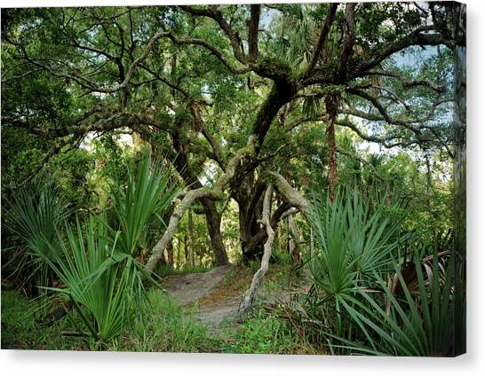 Water Oak. Three Lakes W.m.a. Canvas Print