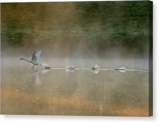 Swan Canvas Print - Water Runner by Elisabeth Wehrmann