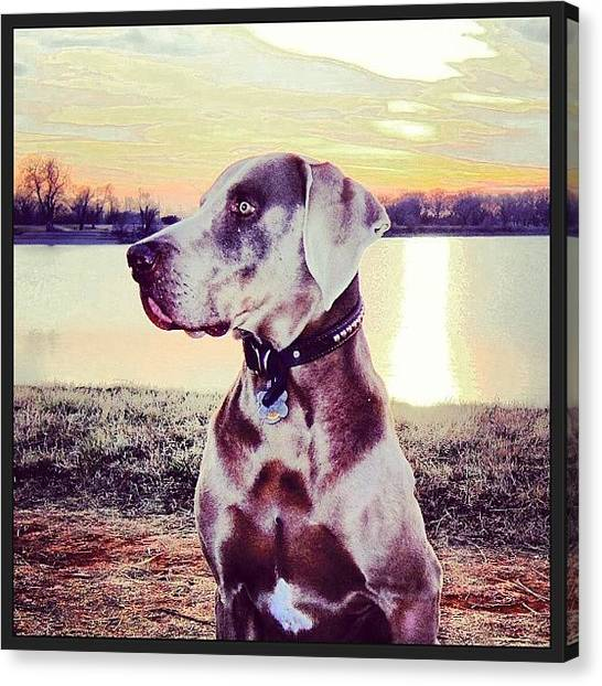 Weimaraners Canvas Print - #water #weimy #winter #walking by Angela Breeden