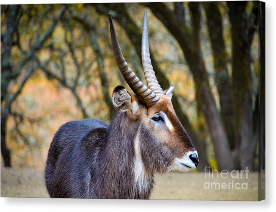 Waterbuck Canvas Print by Amy Fearn
