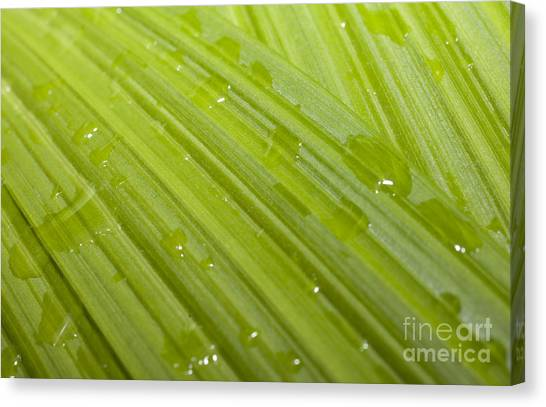 Waterdrops On A Leaf Canvas Print by Jonathan Welch