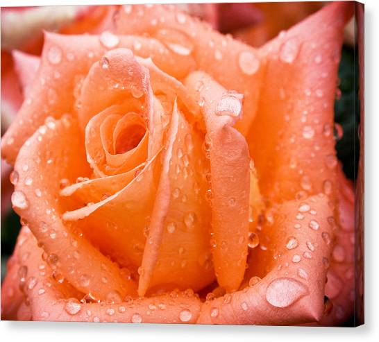 Watered Rose Canvas Print