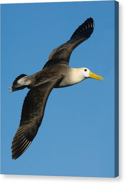 Albatrosses Canvas Print - Waved Albatross Diomedea Irrorata by Panoramic Images