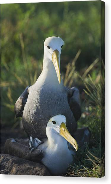 Waved Albatross Mate In Galapagos Canvas Print by Richard Berry