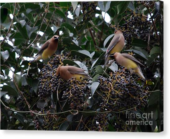 Cedar Waxing Canvas Print - Wax Wings Supper  by Skip Willits