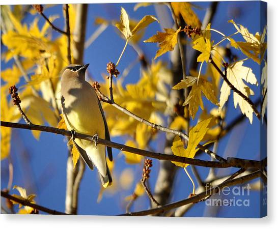 Waxwing Beauty Canvas Print
