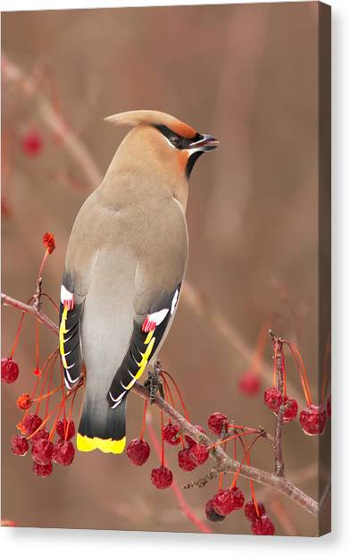 Waxwing In Winter Canvas Print