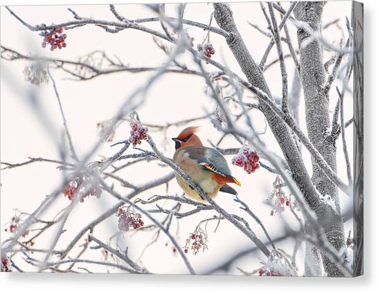 Frost Canvas Print - Waxwing by Konstantin Selezenev