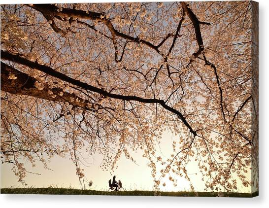 Cherry Blossom Canvas Print - Way Back by