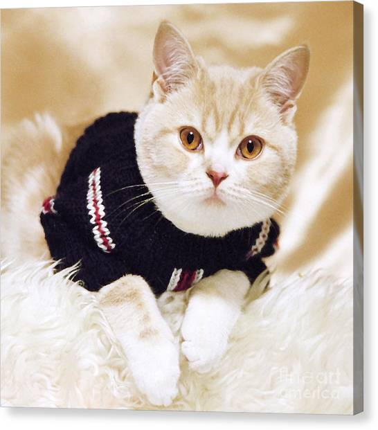 Scottish Folds Canvas Print - Wearing A Sweater by Aiolos Greek Collections
