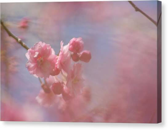 Weeping Cherry Blossoms Canvas Print
