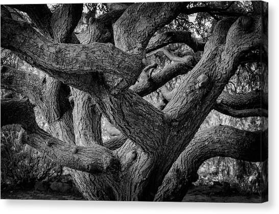 Canvas Print featuring the photograph Weeping Hemlock by Steve Stanger