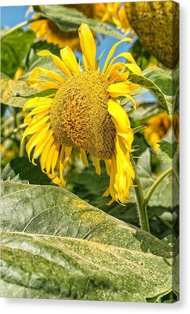 Weeping Sunflower Canvas Print