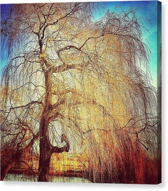 Weeping Willows Canvas Print - #weeping #willow #sunset #instagood by Nikki Sheppard