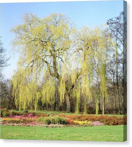 Weeping Willows Canvas Print - Weeping Willow Tree by Anthony Cooper/science Photo Library