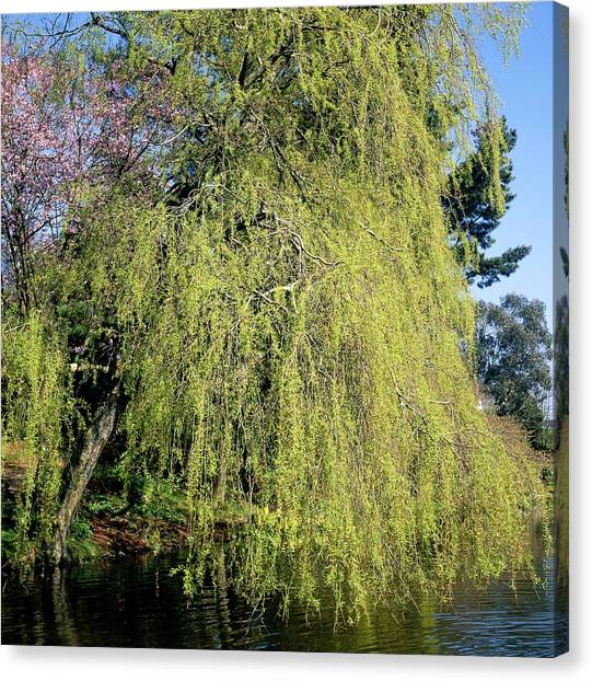 Weeping Willows Canvas Print - Weeping Willow Tree by Neil Joy/science Photo Library