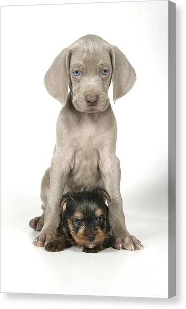 Weimaraners Canvas Print - Weimaraner And Yorkie Puppies by John Daniels