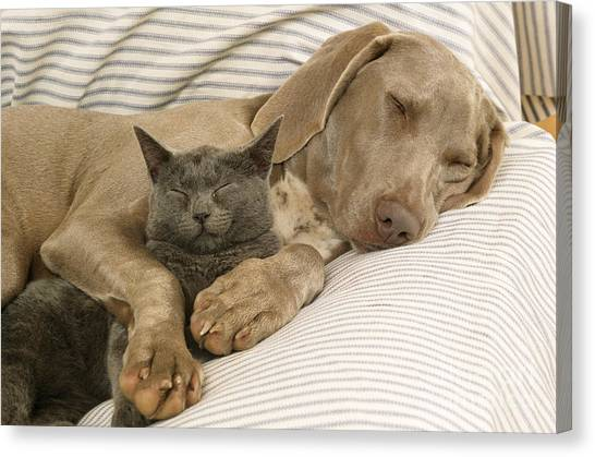 Weimaraners Canvas Print - Weimaraner Asleep With Cat by John Daniels