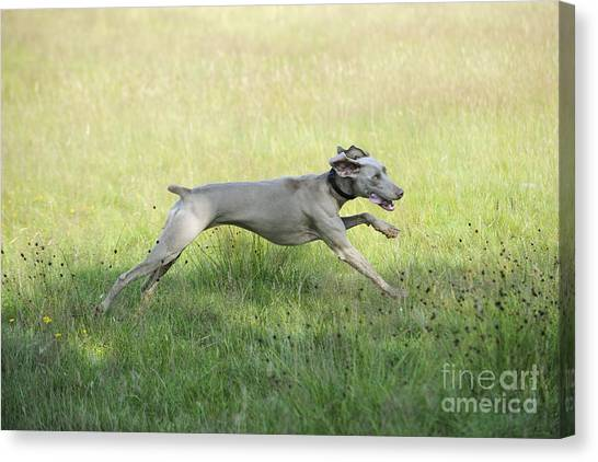 Weimaraners Canvas Print - Weimaraner Dog Running by John Daniels