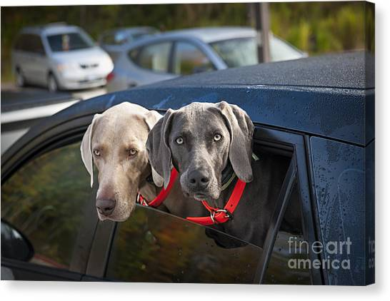 Weimaraners Canvas Print - Weimaraner Dogs In Car by Elena Elisseeva
