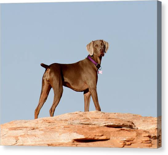 Weimaraners Canvas Print - Weimaraner IIi - Lake Powell by Julie Niemela
