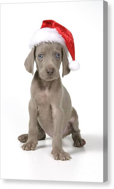 Weimaraners Canvas Print - Weimaraner With Christmas Hat by John Daniels