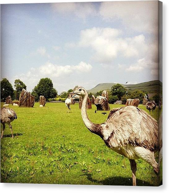 Ostriches Canvas Print - Welsh Emus by Alex Nagle