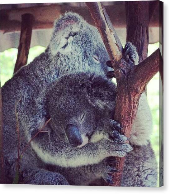 Koala Canvas Print - Went To Lone Pine #koala #cuddle by Luke Richards