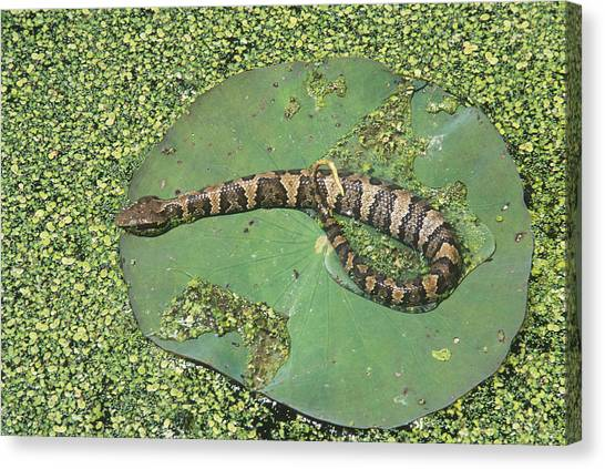 Cottonmouths Canvas Print - Western Cottonmouth Digesting Food by Karl H. Switak