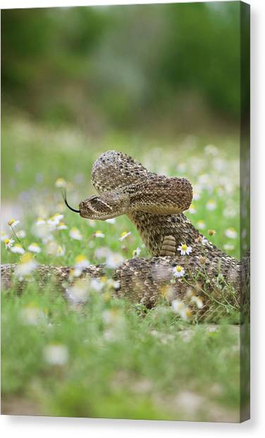 Diamondbacks Canvas Print - Western Diamondback Rattlesnake by Larry Ditto