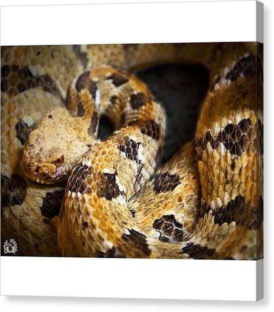 Rattlesnakes Canvas Print - #western #diamondback #rattlesnake by Omar Alzaabi
