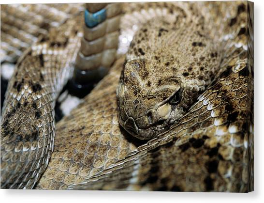 Diamondbacks Canvas Print - Western Diamondback Rattlesnake by Sally Mccrae Kuyper/science Photo Library