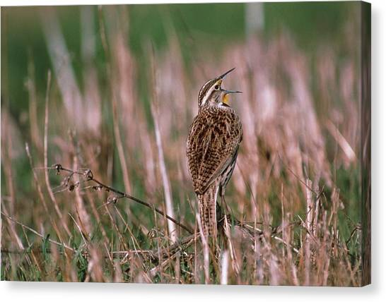 Meadowlarks Canvas Print - Western Meadowlark (sturnella Neglecta) Singing by William Ervin/science Photo Library