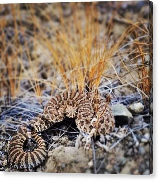 Rattlesnakes Canvas Print - Western Rattlesnake by Susan Scherr