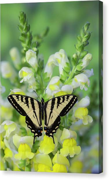 Snapdragons Canvas Print - Western Tiger Swallowtail Butterfly by Darrell Gulin